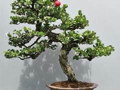 假虎盆景树也被称为纳塔尔梅花