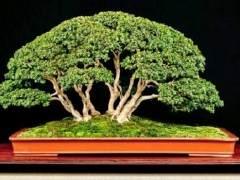黄杨木盆景树是由阔叶常绿植物的大型黄杨属植物造成的