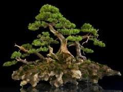 世界上许多人都将杜松盆景作为第一个盆景树