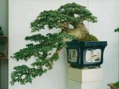您在室内种植盆景树时遇到了问题吗?