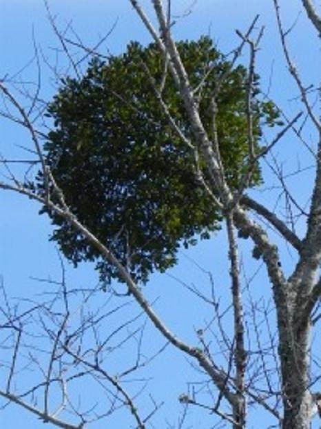 """榕树盆景展示的大块是""""巫婆扫帚""""的一个很好的例子"""