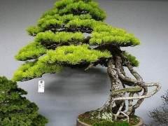 日本盆景树木和花卉受到人们普遍喜爱