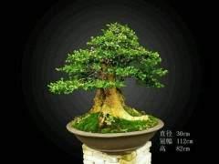 黄杨盆景在生长期注意打头 及时剪去多余的枝条