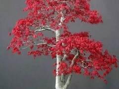 人造枫树盆景树是逼真的塑料 无需担心!