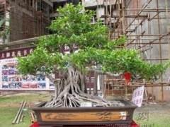 化州盆协召开盆景年会暨会员之家落成庆典