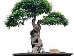 我多长时间泡一次盆景树?