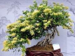 金银花附石盆景的修剪造型与上盆与配土