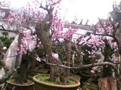 卖花渔村每年可销售盆景花卉约4万盆