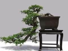 动势盆景的枝条造型与树冠造型