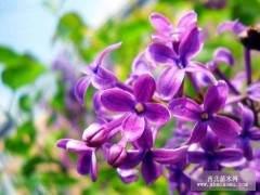 如何养护韩国的紫丁香盆景 图片