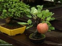 苹果盆景发芽的栽培管理技术