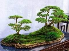 树桩盆景在夏季的修剪与浇水