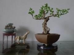 小品盆景制作方法与大中型盆景基本相似