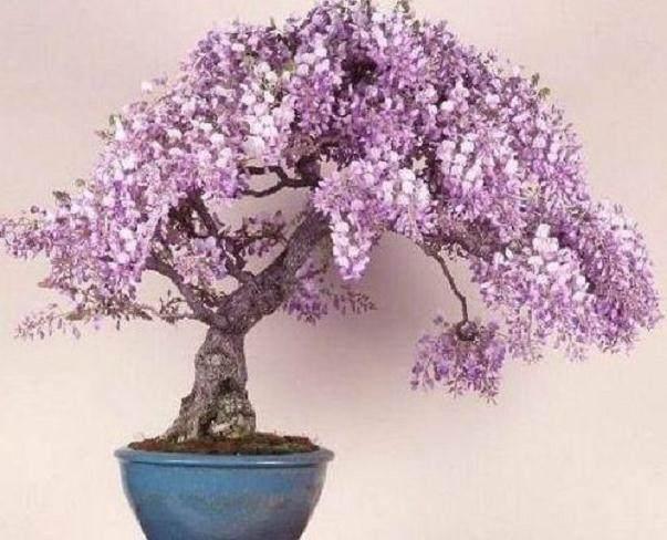 紫藤盆景寿命长、生长快、耐修剪