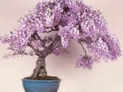 紫藤盆景的修剪造型与养护