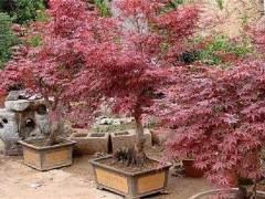 5万日本红枫盆景进欧洲寇亚琴