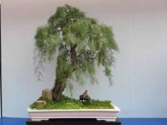 柽柳盆景怎么发芽修剪与透水 图片