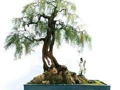 春季怪柳盆景怎么发芽 浇水与施肥的方法