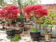 一位山东客户从盈一盆景花木场邮购了1000株日本红枫