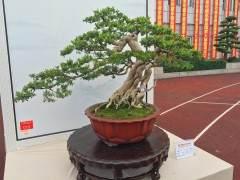 郑州盆景协会参加在泉州第六届全国盆景展