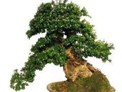 赤楠盆景出现寿命短 残废量大的现象是有原因的