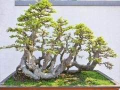 榆树盆景的浇水与设计与造型