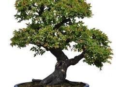 盆景经常被称为日本的微型树艺术