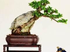 """鉴赏树木盆景要靠""""观 品  悟"""""""