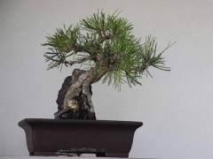 大约两周前我买了杜松盆景树
