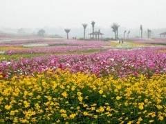 北京花卉市场平头红单株批发价格仅为70元