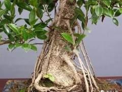 榕树盆景怎样长气根及根的培养方法