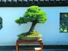 中国盆景评比展览中的树木桩盆景评比标准