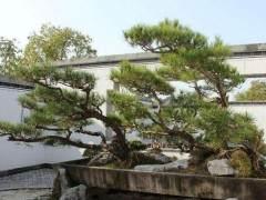 鲍家花园总投资一亿多元 展出的盆景有近万盆