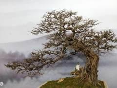 博兰盆景叶小常绿 古朴苍劲 树种寿命长