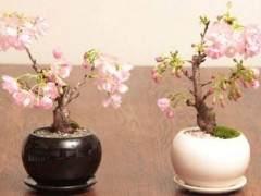 那么分享下原来制作樱花盆景的一些心得
