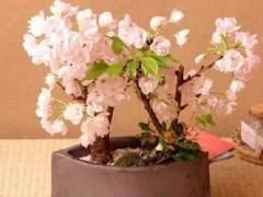樱花盆景的土壤与浇水修剪
