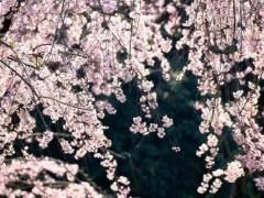 制作樱花盆景发芽萌芽的7个方法