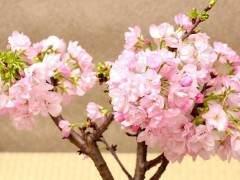 种植樱花盆景用什么土壤比较好?