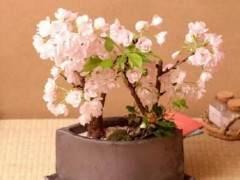 2018 武汉市举办樱花盆景和樱花插花展