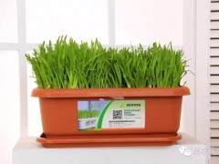 黄韭盆景的室内管理方法