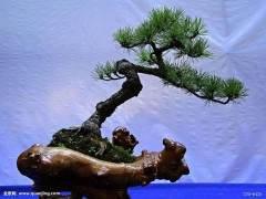 北京林业大学本科生上课用的教材《盆景学》