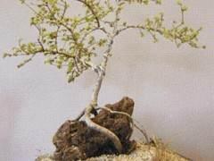 榆树发芽生长快 只需要三年就可制作成盆景