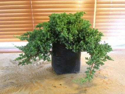 杜松盆景的生根修剪