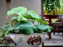 制作荷花盆栽的4个步骤
