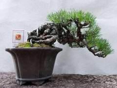 怎么种植黑松盆景的方法 图片