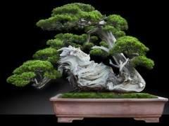 杨贵生收藏的台湾真柏盆景