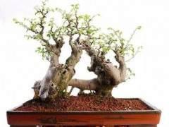连根式树木盆景怎么生根的制作方法