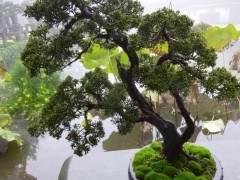 常青树盆景在冬季从光合作用中获益很多