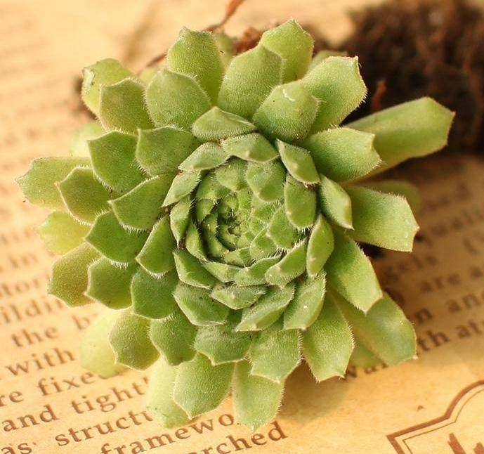 耐旱的多肉植物非常适合作为屋顶绿化