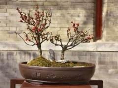 广州海棠盆景价格由以往10多元涨到500元